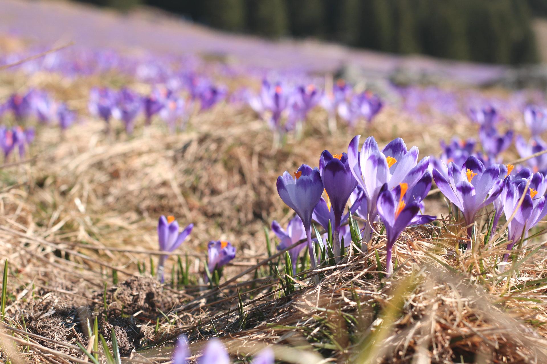 krokusy-dolina-chocholowska-podsumowanie-miesiąca